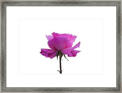 Rose Over White Background Framed Print