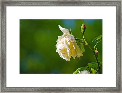 Rose Framed Print by Pablo Lopez