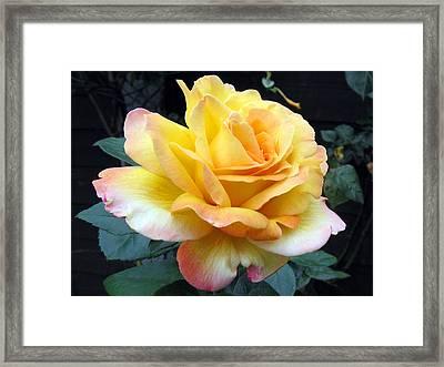 Rose Peace Framed Print