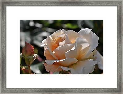 Rose Pegasus Framed Print by Sabine Edrissi
