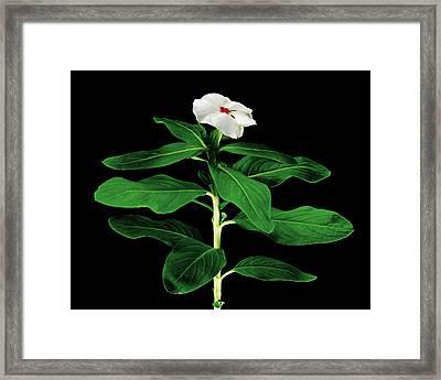 Rose Periwinkle (catharanthus Roseus) Framed Print by Gilles Mermet