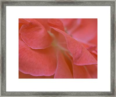 Framed Print featuring the photograph Rose Petals by Stephen Anderson