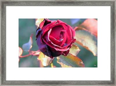 Rose Piangente Framed Print by Halina Nechyporuk