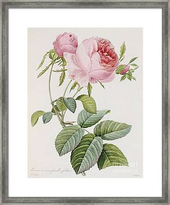 Rose Framed Print by Pierre Joesph Redoute