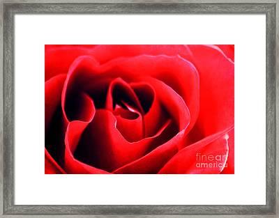 Rose Red Framed Print by Darren Fisher