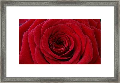 Rose Red Framed Print by Shawn Marlow