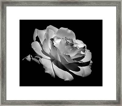 Rose Framed Print by Rona Black