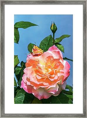 Rose (rosa 'arc De Triomphe') Framed Print by Brian Gadsby