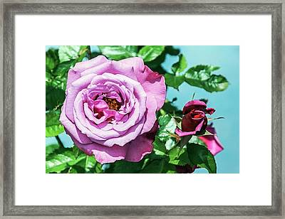 Rose (rosa 'barbra Sterisand') Framed Print by Brian Gadsby
