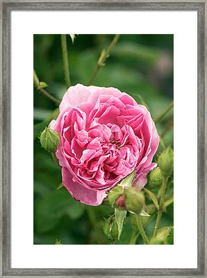 Rose (rosa 'harlow Carr' ) Flower Framed Print by Adrian Thomas