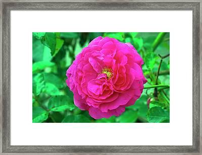 Rose (rosa 'karlsruhe') Framed Print by Neil Joy/science Photo Library