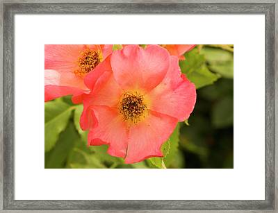 Rose (rosa 'morning Mist') Framed Print by Adrian Thomas
