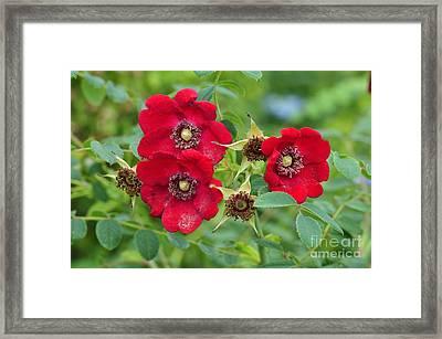 Rose (rosa Moyesii 'geranium') In Flower Framed Print