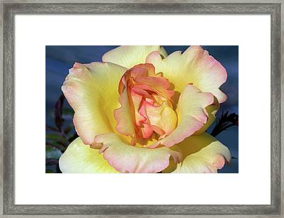 Rose (rosa 'parure D'or') Framed Print by Brian Gadsby/science Photo Library