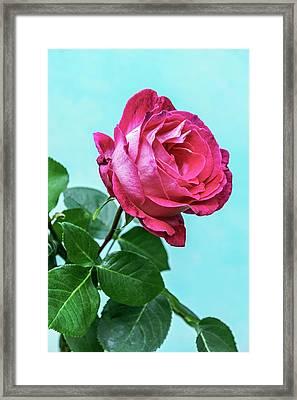 Rose (rosa Sp.) Flower Framed Print by Brian Gadsby