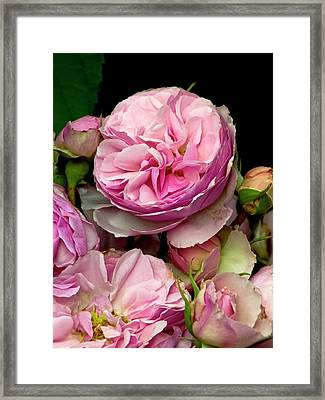 Rose (rosa 'the Enchantress') Flowers Framed Print by Ian Gowland