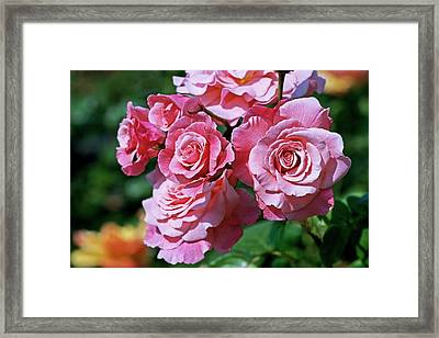 Rose (rosa 'tickled Pink') Framed Print