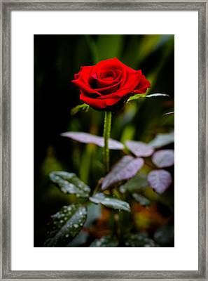 Rose Singapore Flower Framed Print by Donald Chen
