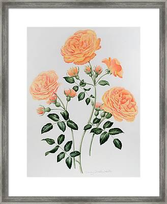 Rose St Richard Of Chichester  Framed Print by Sally Crosthwaite