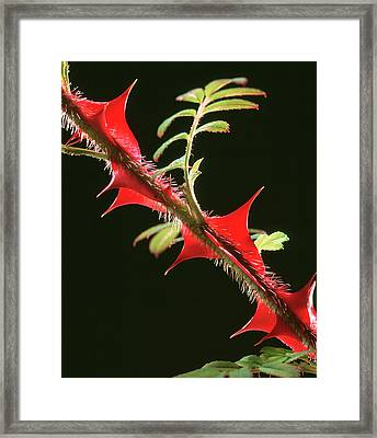 Rose Thorns Framed Print by Sheila Terry/science Photo Library