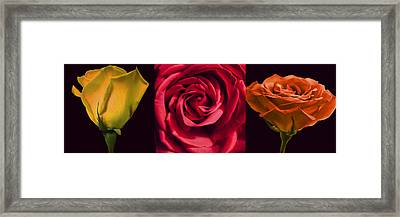 Framed Print featuring the photograph Rose Triad I by John Hansen