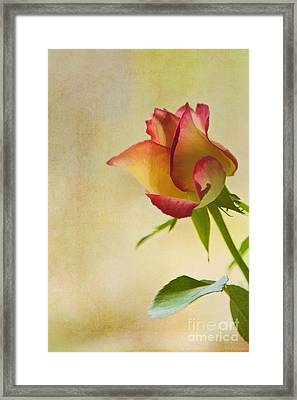 Rose Framed Print by Veikko Suikkanen