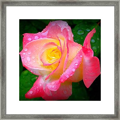 Rose With Water Droplets  Framed Print by Nick Kloepping