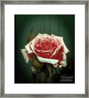 Framed Print featuring the photograph Rose20122 by Marjorie Imbeau