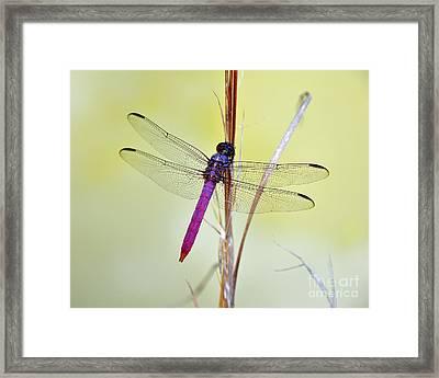 Roseate Skimmer Dragonfly Framed Print