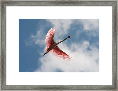 Roseate Soaring Framed Print