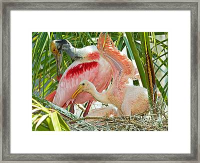 Roseate Spoonbill Adult And Nestlings Framed Print