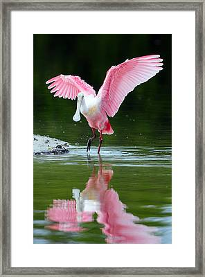 Roseate Spoonbill Framed Print by Clint Buhler