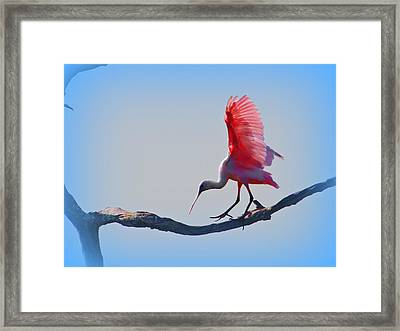 Roseate Spoonbill Framed Print by David Mckinney