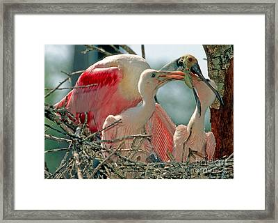 Roseate Spoonbill Feeding Young At Nest Framed Print by Millard H. Sharp