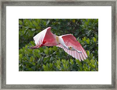 Roseate Spoonbill Flyer Framed Print by Phil Stone