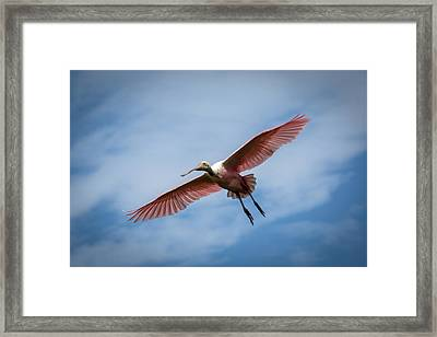 Roseate Spoonbill In Flight Framed Print by Gregory Daley  PPSA