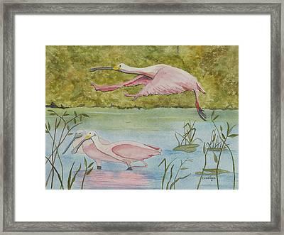 Roseate Spoonbill In Flight Framed Print by John Edebohls