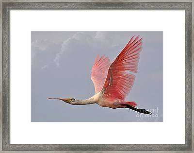 Roseate Spoonbill In Flight Framed Print by Kathy Baccari