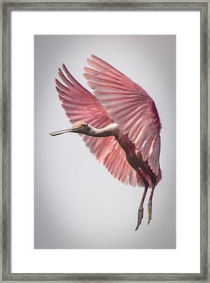 Roseate Spoonbill Landing Framed Print by Gregory Daley  PPSA
