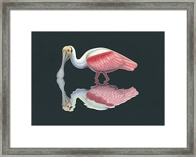 Roseate Spoonbill Framed Print by Nathan Marcy