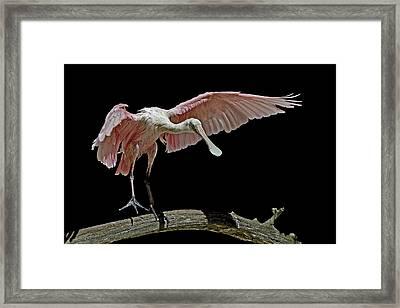Roseate Spoonbill Framed Print by Stuart Harrison