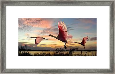 Roseate Spoonbills Of Lake Tarpon Framed Print