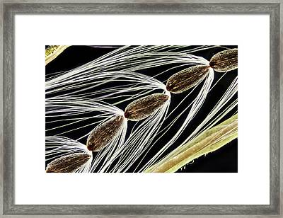 Rosebay Willowherb Seeds Framed Print by Gerd Guenther/science Photo Library
