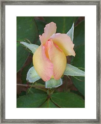 Framed Print featuring the photograph Rosebud by Belinda Lee