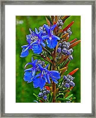 Rosemary In Park Sierra Near Coarsegold-california  Framed Print by Ruth Hager