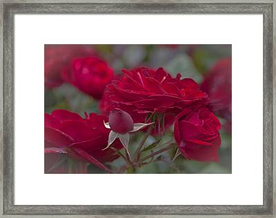 Roses And Roses Framed Print by Maj Seda