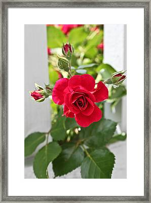 Framed Print featuring the photograph Roses Are Red by Joann Copeland-Paul
