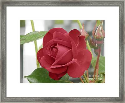 Roses Are Red Framed Print by Margaret McDermott