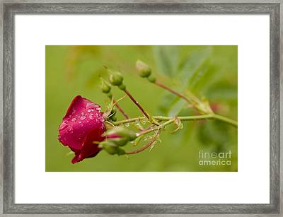 Roses Are Red Framed Print by Nick  Boren