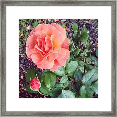 Roses Are Salmon...wait, What!? Framed Print by Amber Flowers